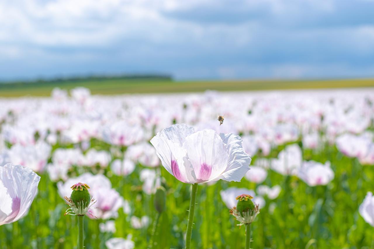 Foto unscharfer Hintergrund Rosa Farbe Blumen Mohnblumen Viel Bokeh Mohn Blüte