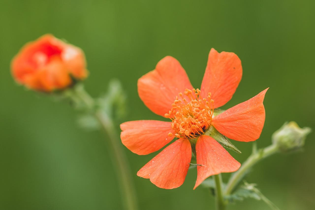 De perto Geum, avens Bokeh Vermelho flor, Fundo desfocado Flores