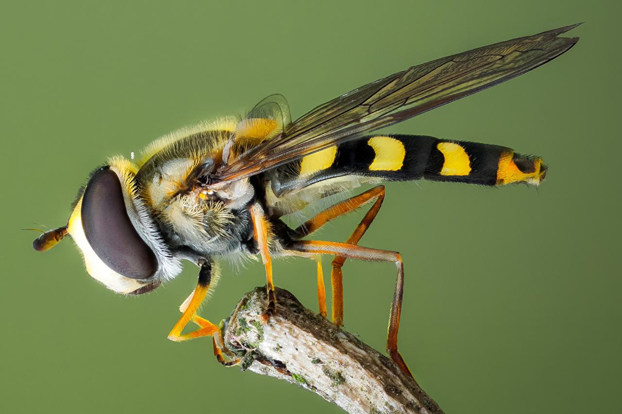 Bilder von Fliegen Insekten syrphidae ein Tier Nahaufnahme Tiere hautnah Großansicht