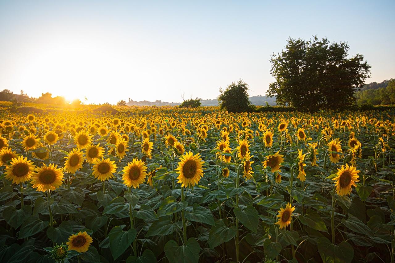 Amanheceres e entardeceres Girassol Muitas Pôr do sol, ocaso Naturaleza