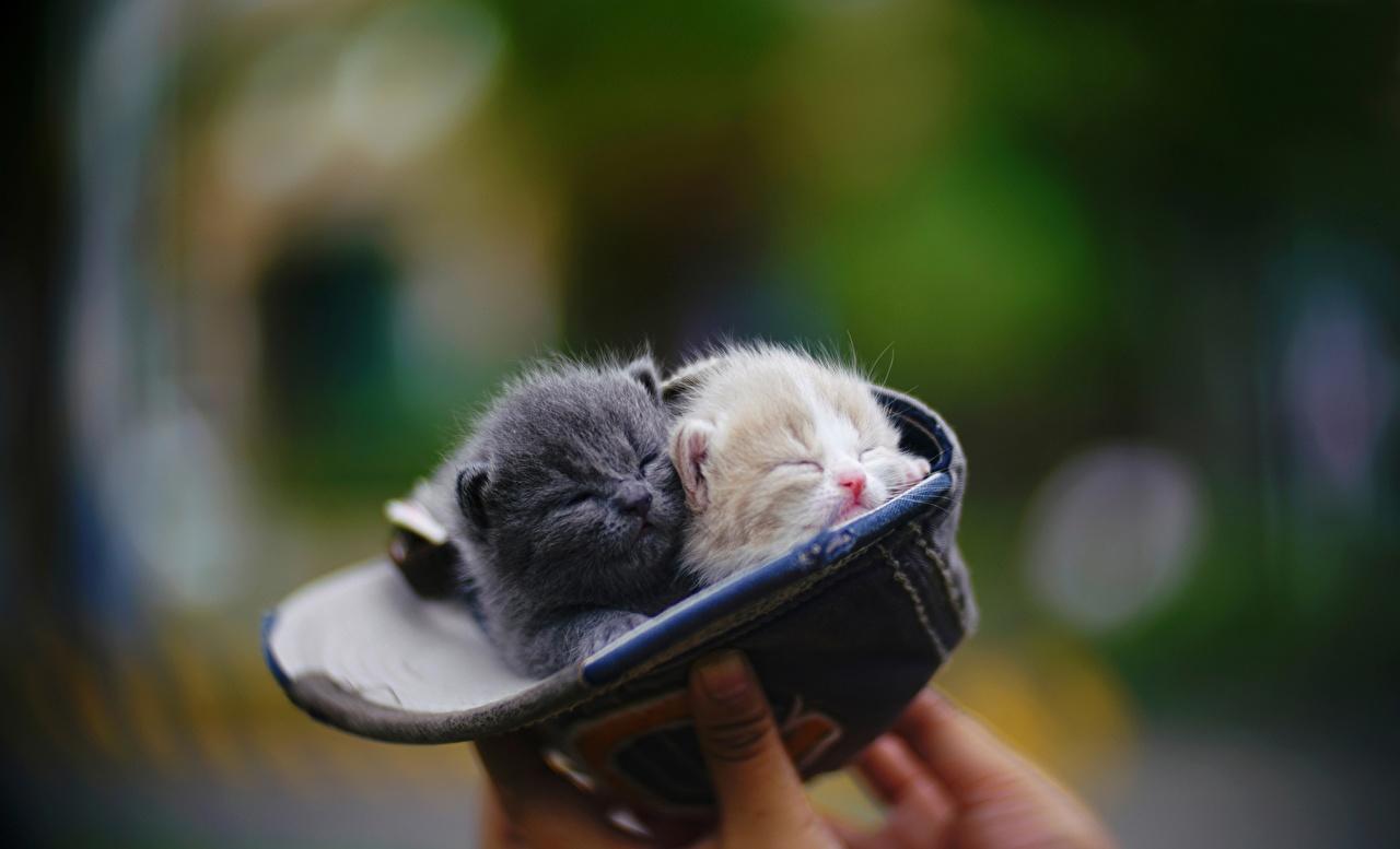 Bilder von Katzenjunges Katzen Bokeh 2 Tiere baseballmütze Kätzchen Katze Hauskatze unscharfer Hintergrund Zwei ein Tier Baseballcap baseballkappe