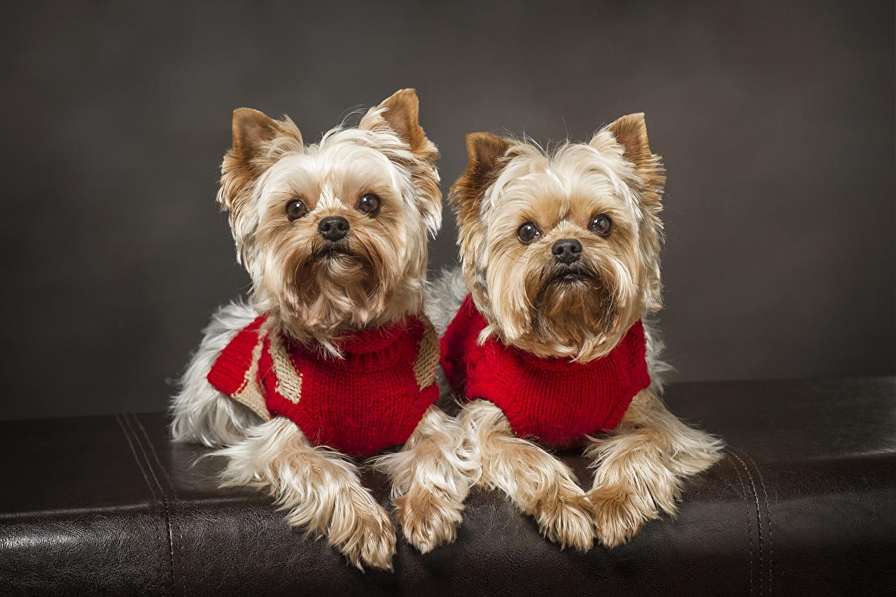 Bilder Yorkshire Terrier Hunde Zwei Starren Ein Tier