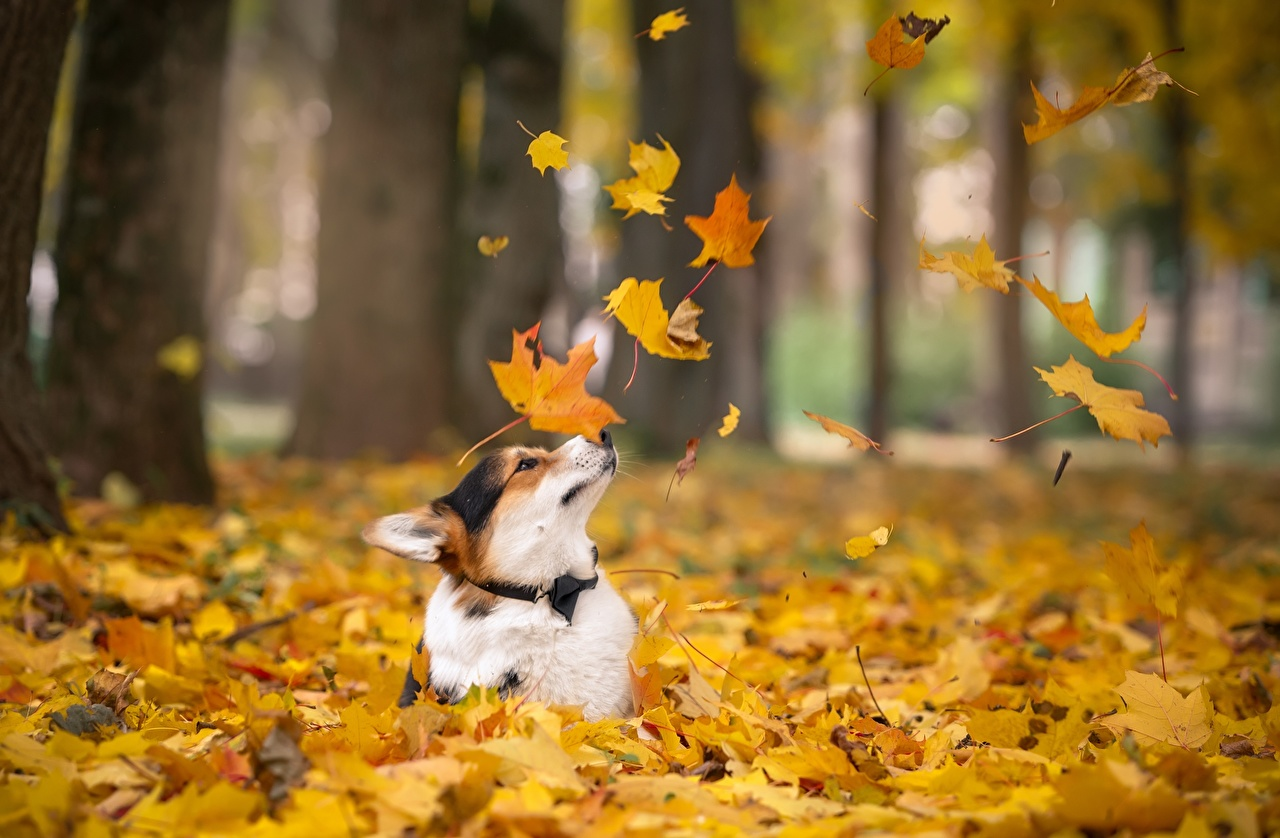壁紙 秋 イヌ 木の葉 ウェルシュ コーギー 動物 ダウンロード 写真