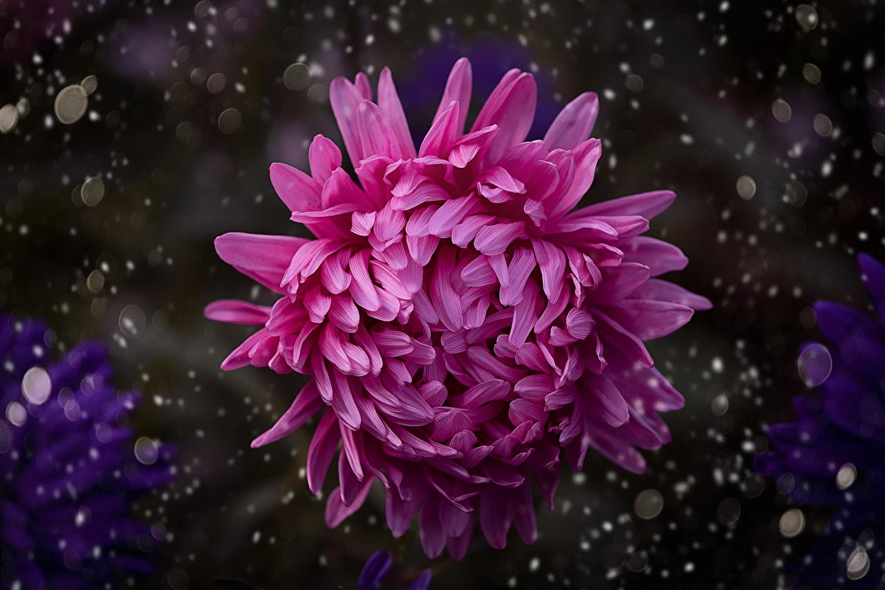 Bilder Bokeh Rosa Farbe Blumen Chrysanthemen Großansicht unscharfer Hintergrund Blüte hautnah Nahaufnahme