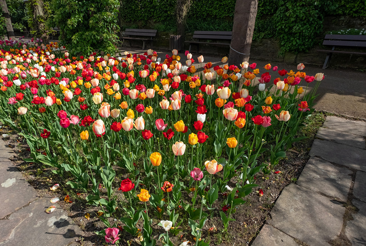 Images Germany Botanischen Garten Solingen Multicolor tulip Gardens Flowers Many Tulips flower