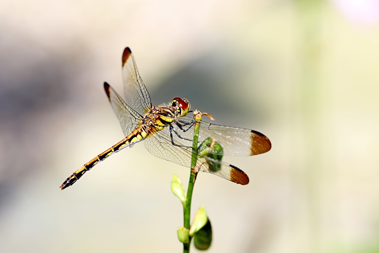 Desktop Hintergrundbilder Insekten Libellen unscharfer Hintergrund ein Tier Großansicht Bokeh Tiere hautnah Nahaufnahme
