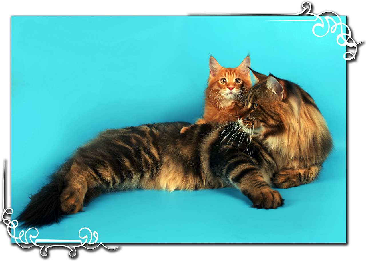 Photo Maine Coon cat Two Animals Colored background Cats 2 animal