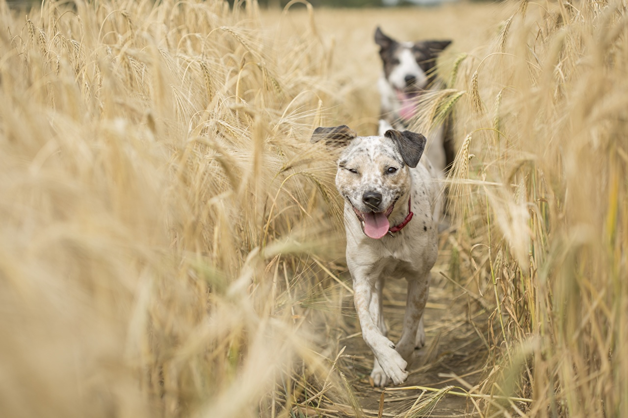 Image Dogs blurred background Fields Ear botany animal dog Bokeh spike spikes Animals