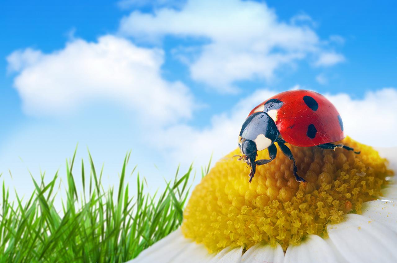 Photos Ladybugs Sky Drops matricaria Closeup Animals Ladybird Lady beetle Coccinellidae Camomiles animal