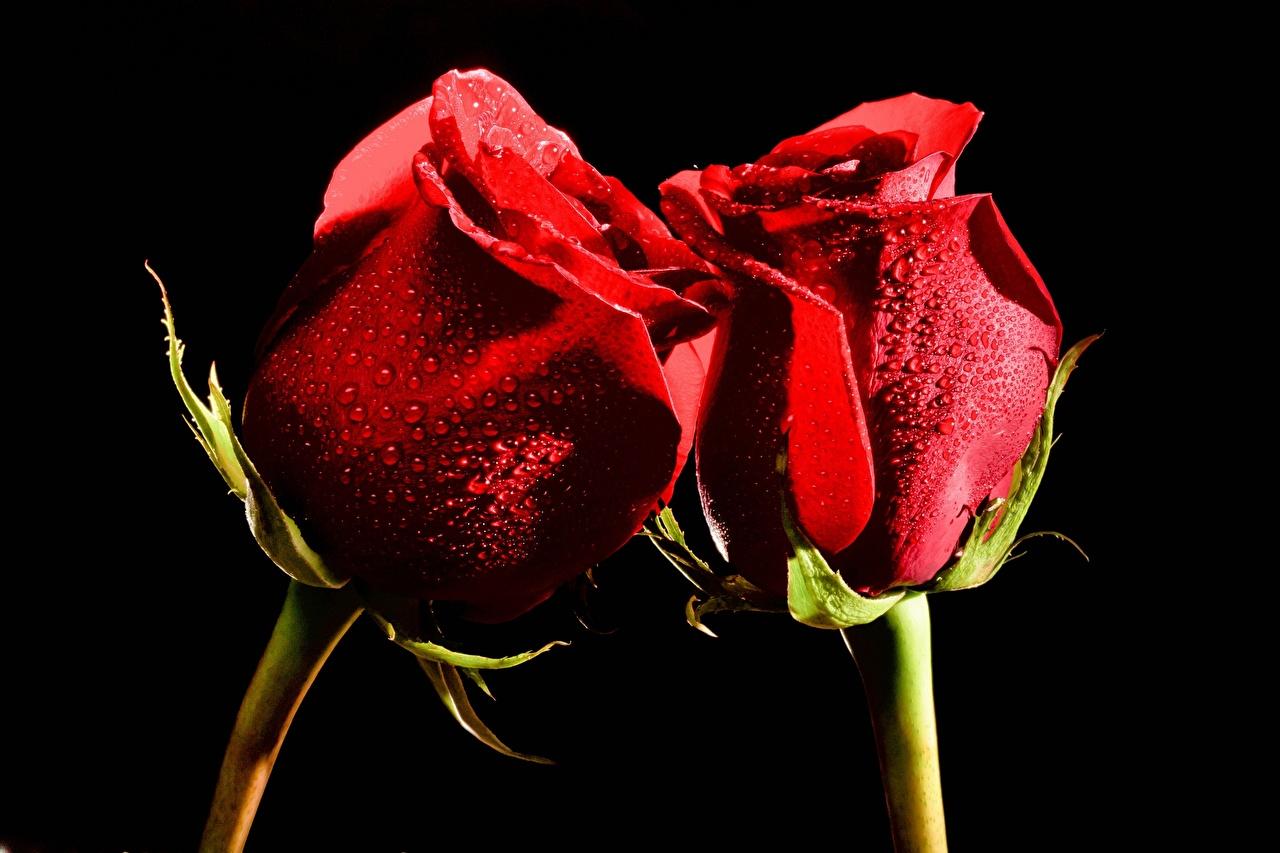 ,玫瑰,特寫,红色,2 兩,水滴,黑色背景,花卉,