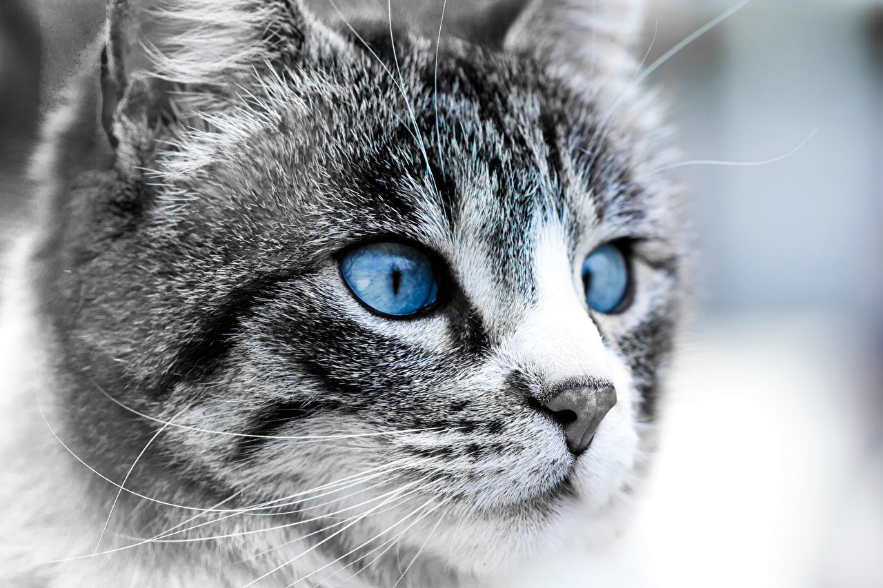 Photo Cats Eyes Nose Snout animal Staring cat Glance Animals