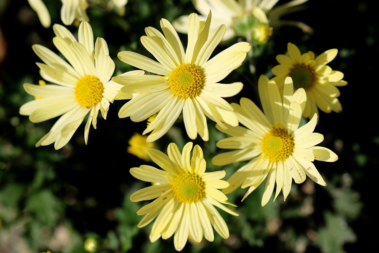 Fotos von Bokeh Gelb Blüte Kamillen Nahaufnahme unscharfer Hintergrund Blumen hautnah Großansicht