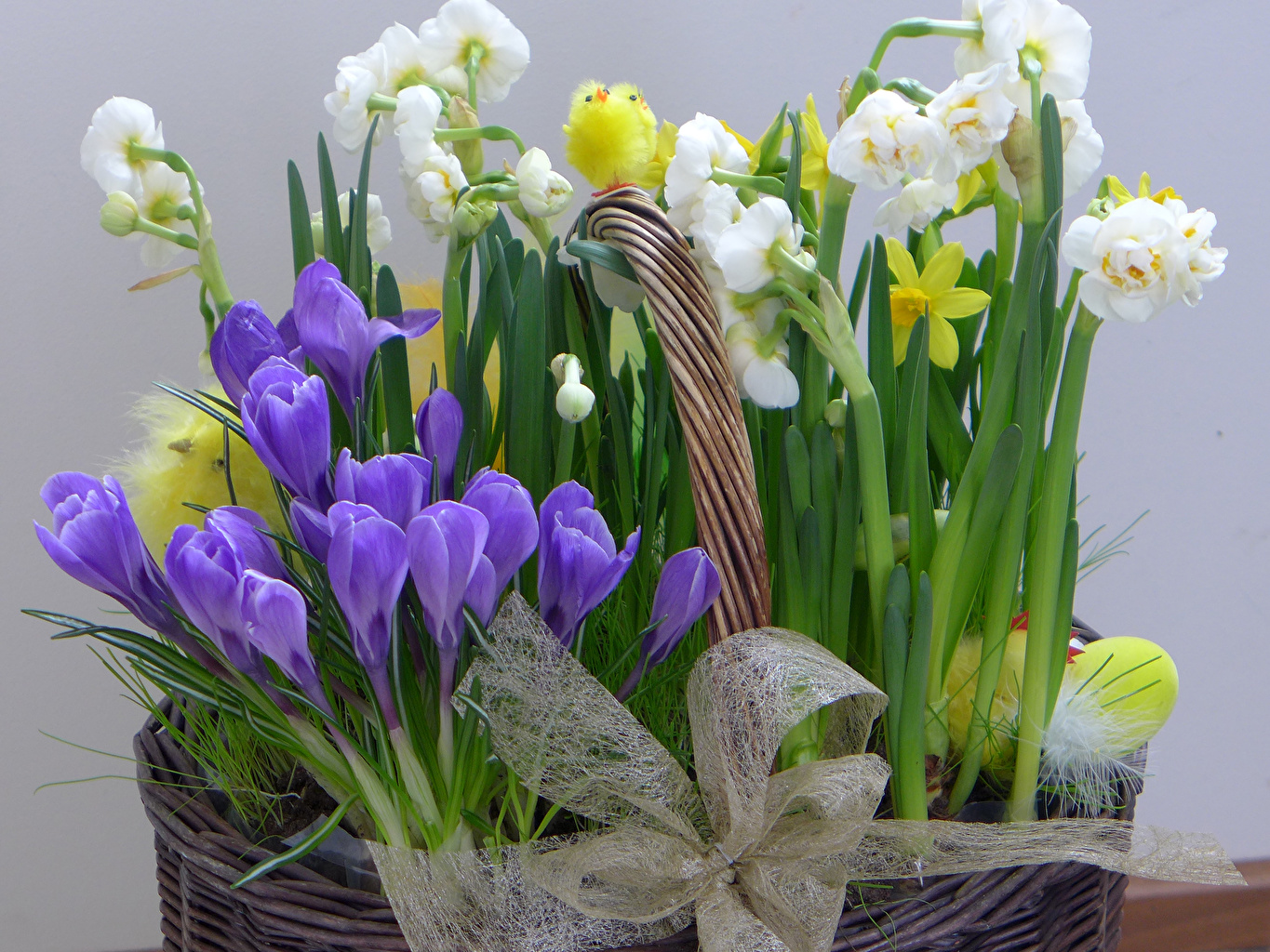 Pictures Chicks Flowers Crocuses Narcissus bow Daffodils Bowknot