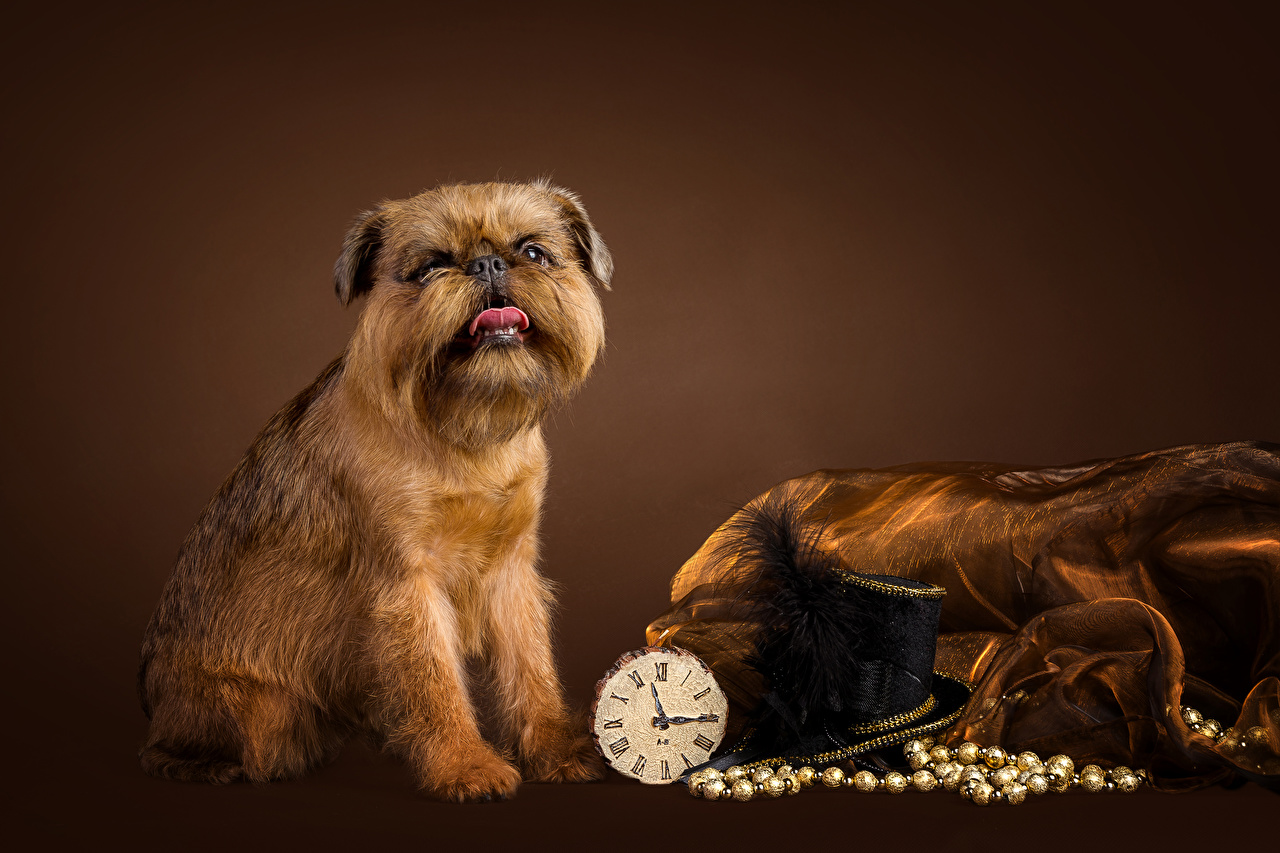 Wallpapers Dogs Brussels Griffon Hat Clock Animals Colored background