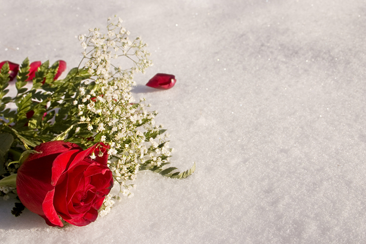 Photo Red Roses Flowers