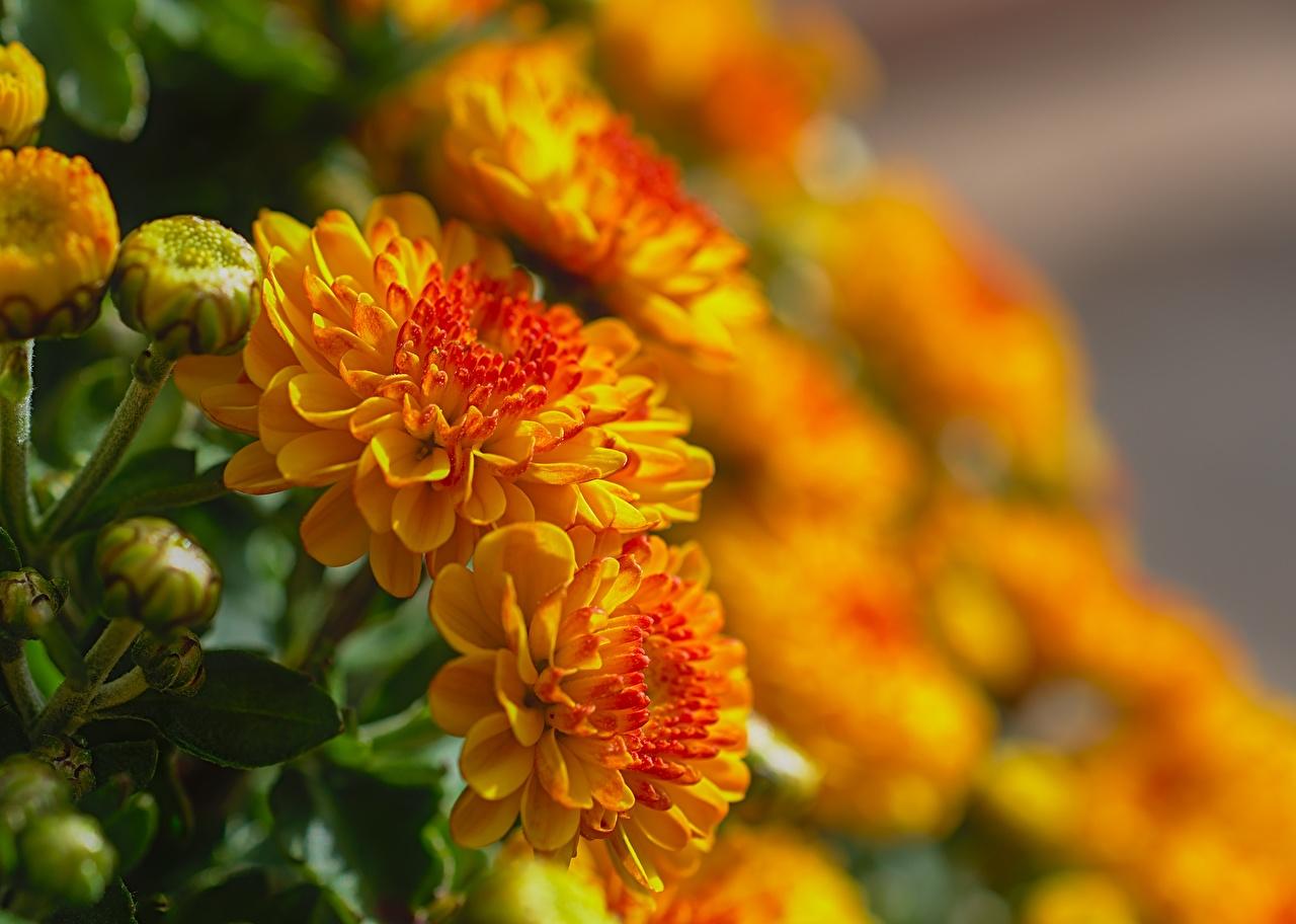 Wallpaper Bokeh Yellow flower Chrysanthemums Closeup Flower-bud blurred background Mums Flowers Chrysanths
