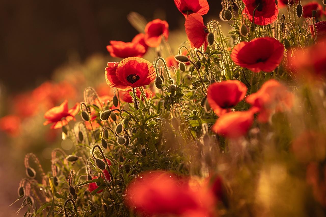 Desktop Wallpapers blurred background flower papaver Flower-bud Bokeh Poppies Flowers