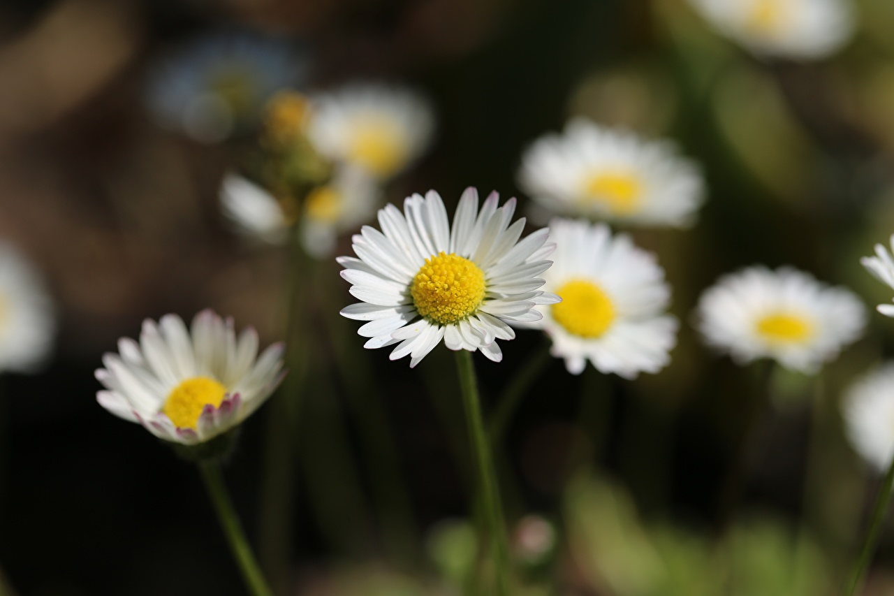 Photo Bokeh flower Camomiles blurred background Flowers matricaria