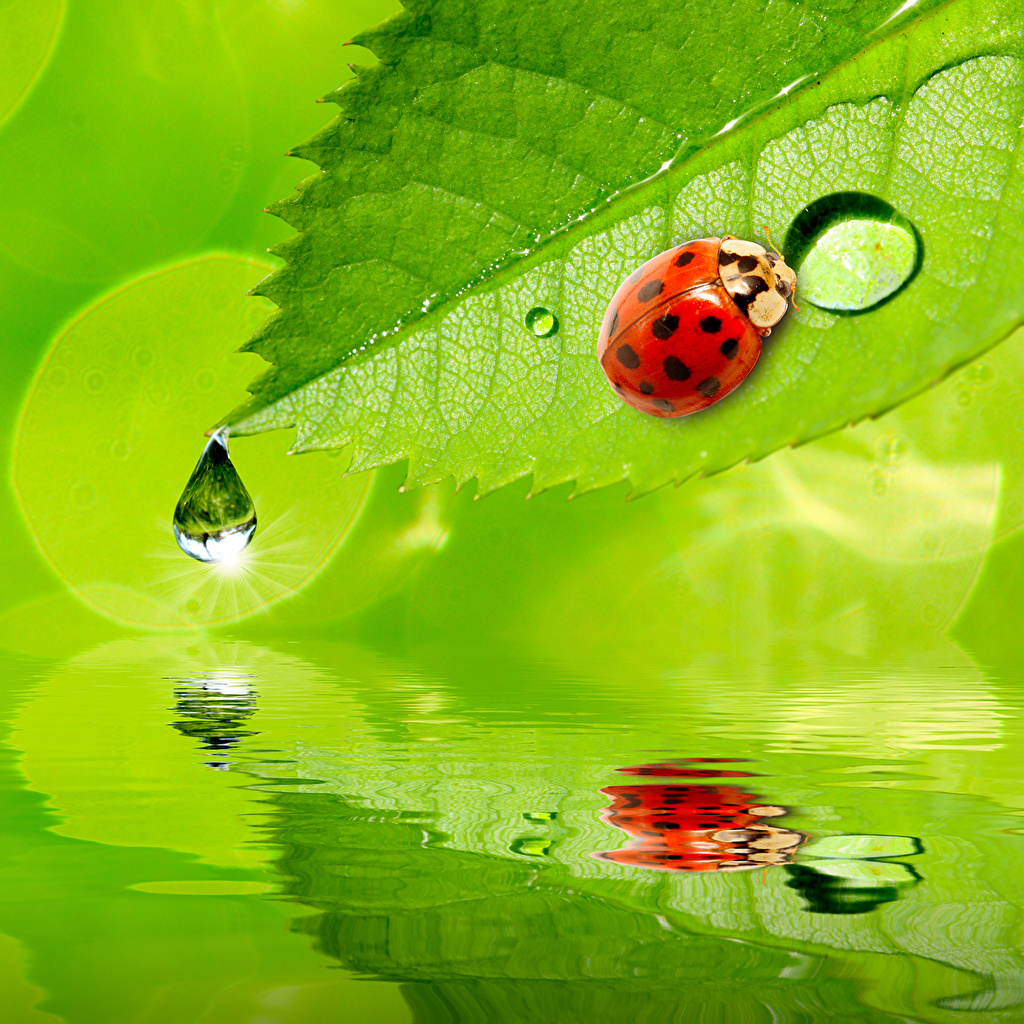 Photos Ladybird Leaf Drops Water Animals Ladybugs Lady beetle Coccinellidae Foliage animal