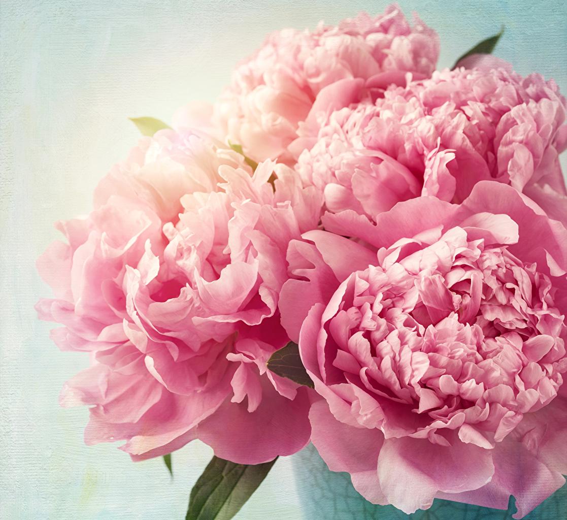 Fonds d\u0027ecran Pivoine En gros plan Rose couleur Fleurs
