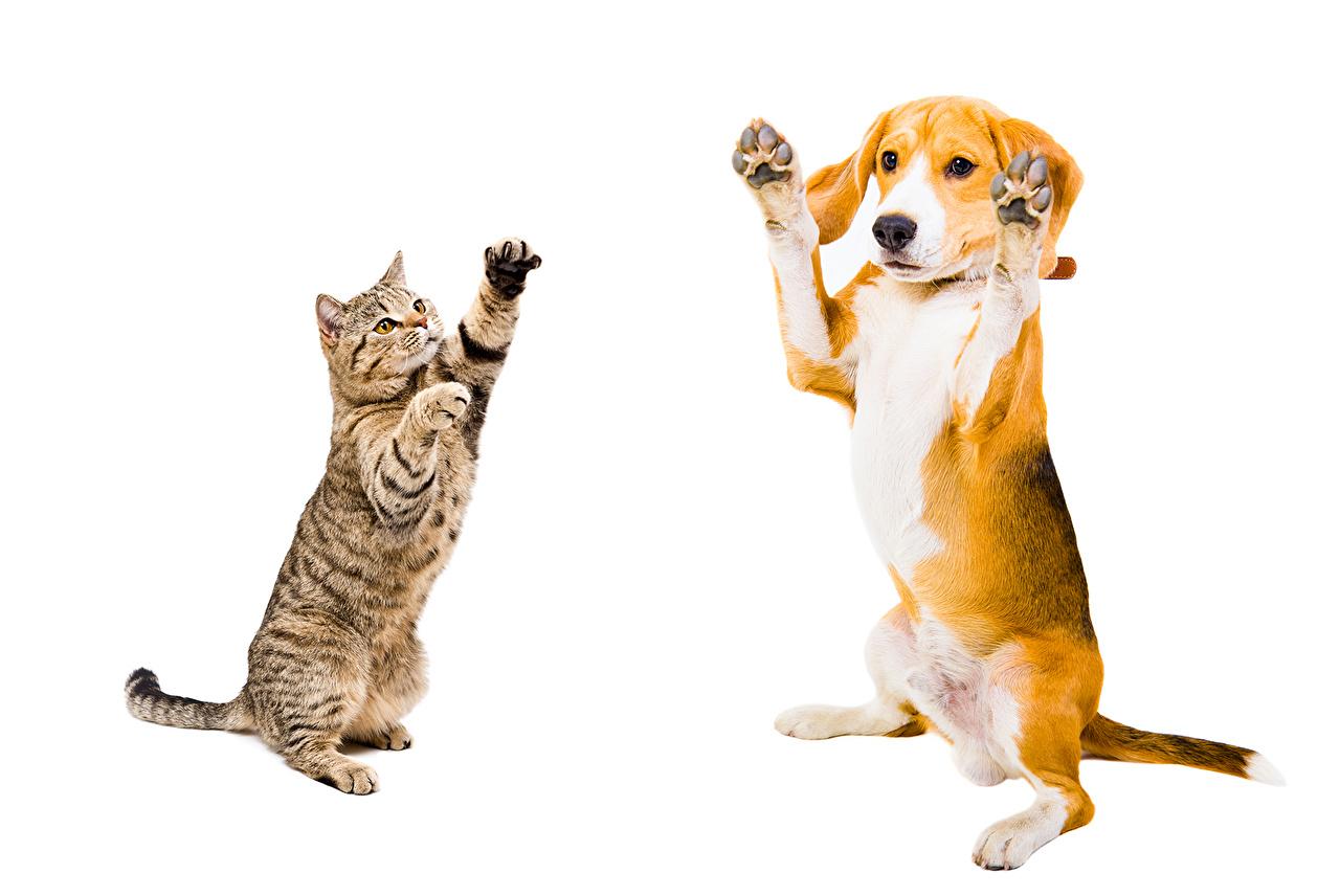 Bilder Beagle hund Hauskatze Zwei Tiere Weißer hintergrund Hunde Katze Katzen 2 ein Tier