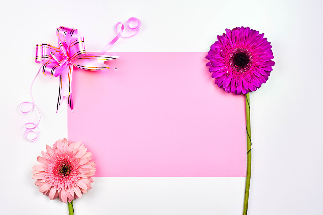 Photos Valentine's Day Sheet of paper gerbera Flowers Bowknot Template greeting card White background Gerberas flower bow knot