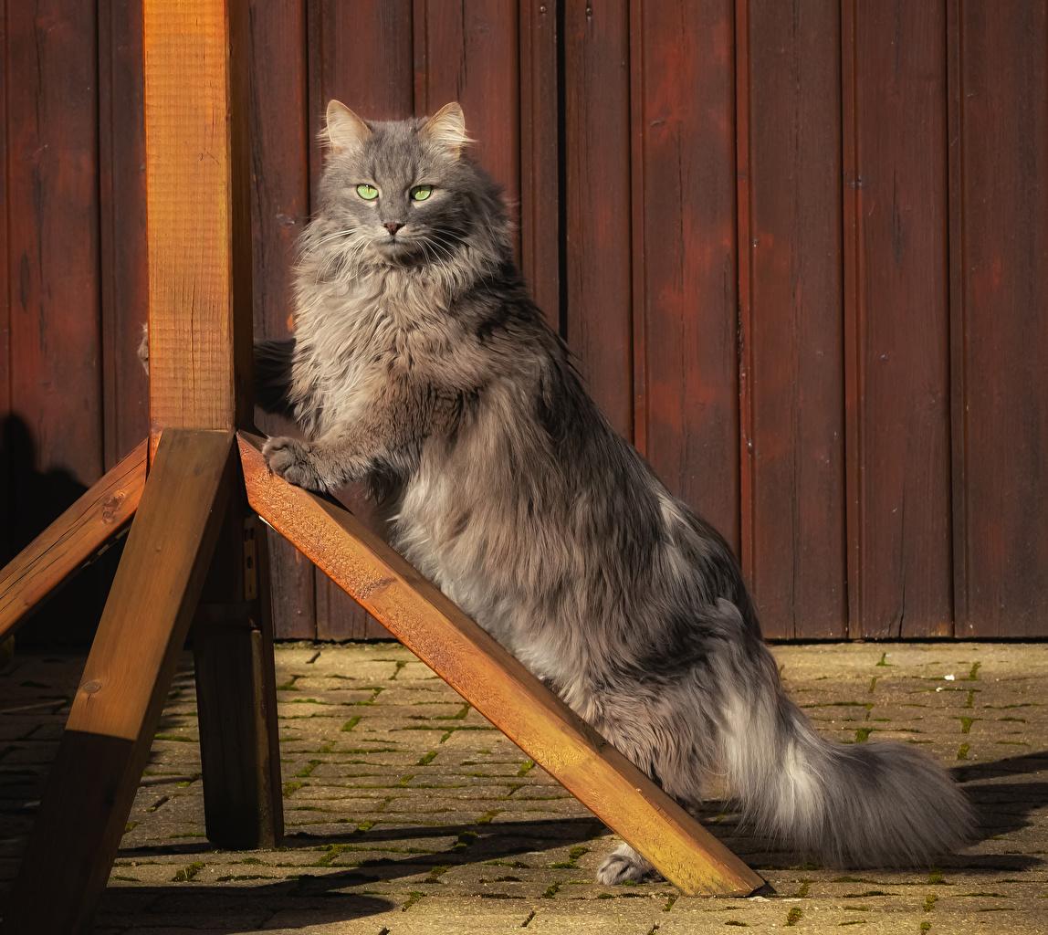 Foto Katze Grau Flaumig Blick ein Tier Katzen Hauskatze graue graues Flauschige flauschiger Tiere Starren