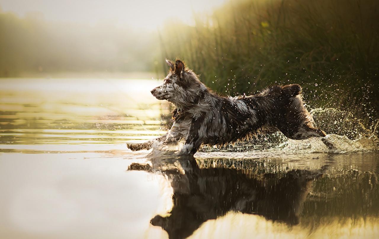 Desktop Hintergrundbilder hund Lauf Sira spritzwasser Wasser ein Tier Hunde Laufen Laufsport Wasser spritzt Tiere