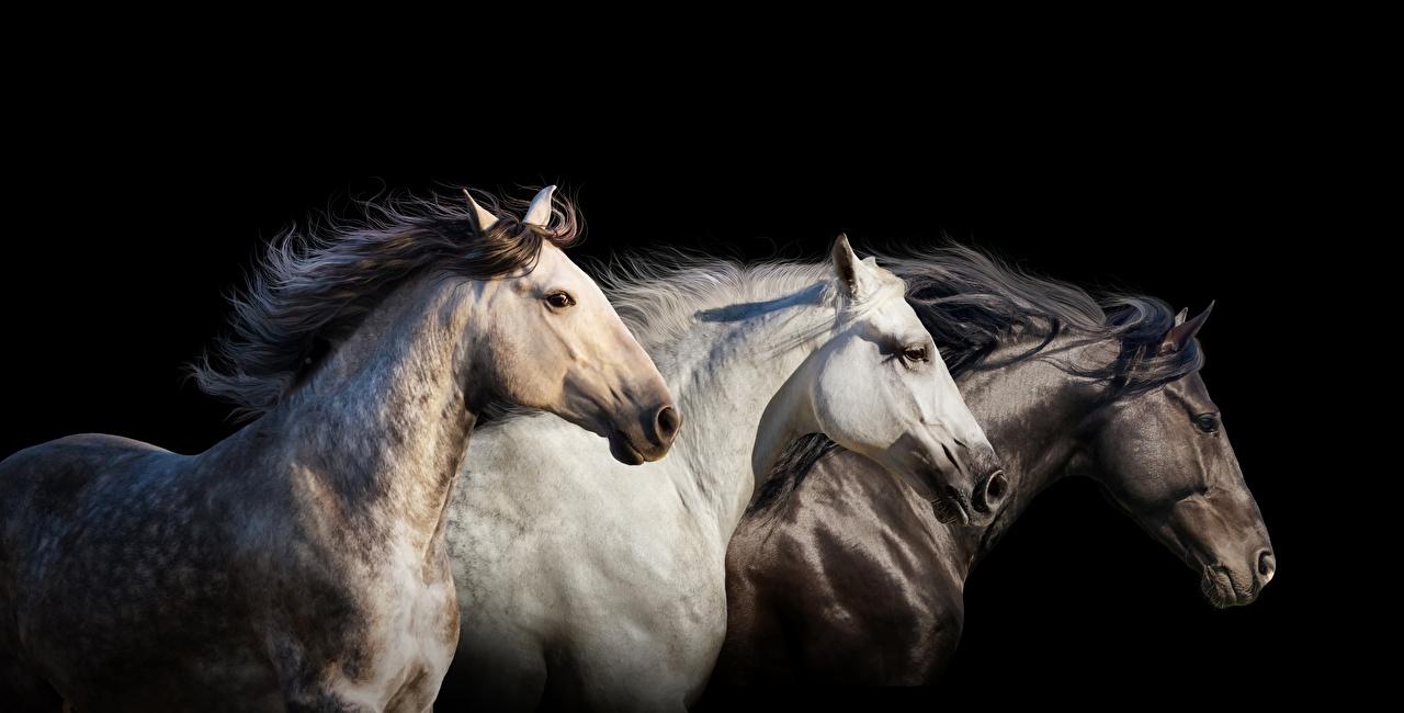 wallpaper horse three 3 animals black background