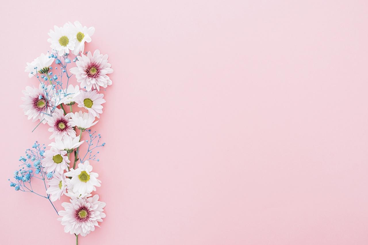 Crisantemos Fondo rosa Tarjeta de felicitación de la plant flor Flores