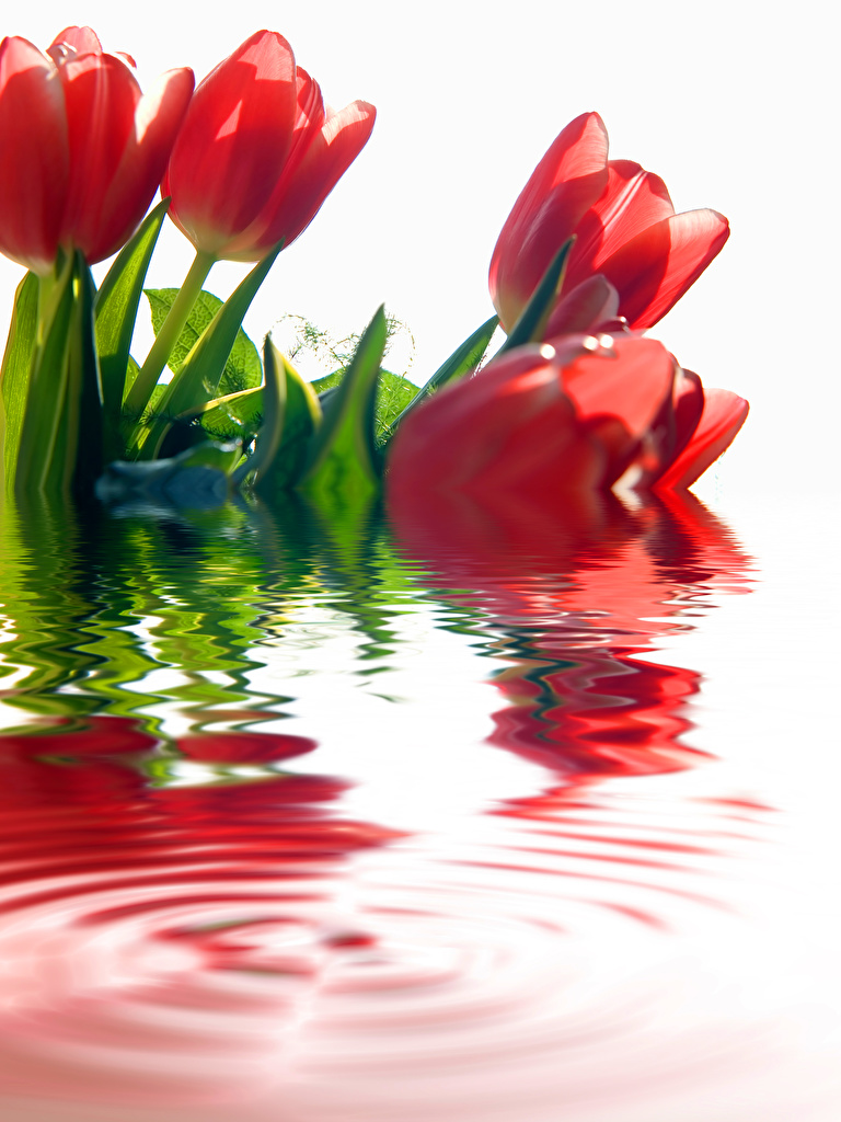 Wallpaper Red tulip Flowers Water  for Mobile phone Tulips flower