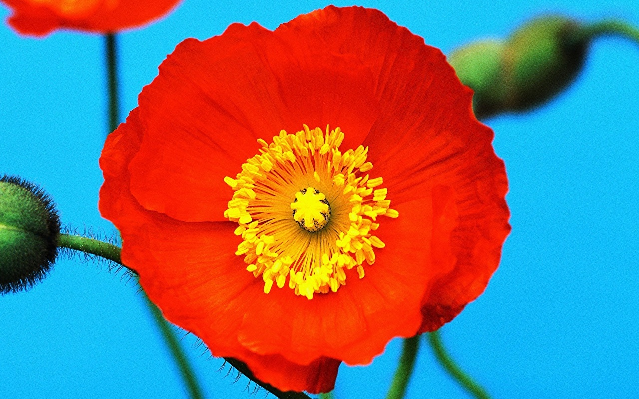 Images Red flower papaver Closeup Poppies Flowers