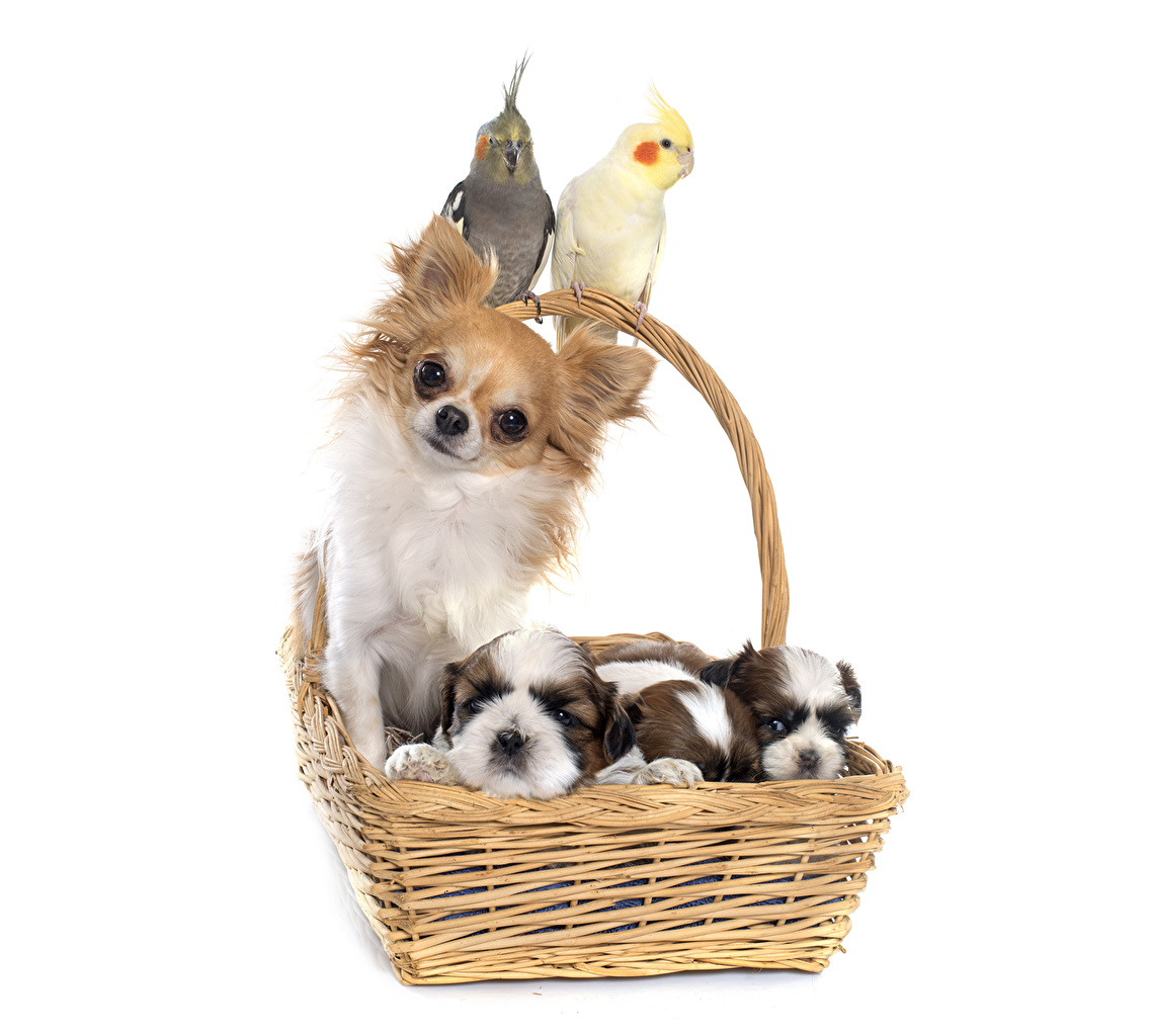 Image puppies Chihuahua dog parrot Wicker basket animal Puppy Dogs Parrots Animals