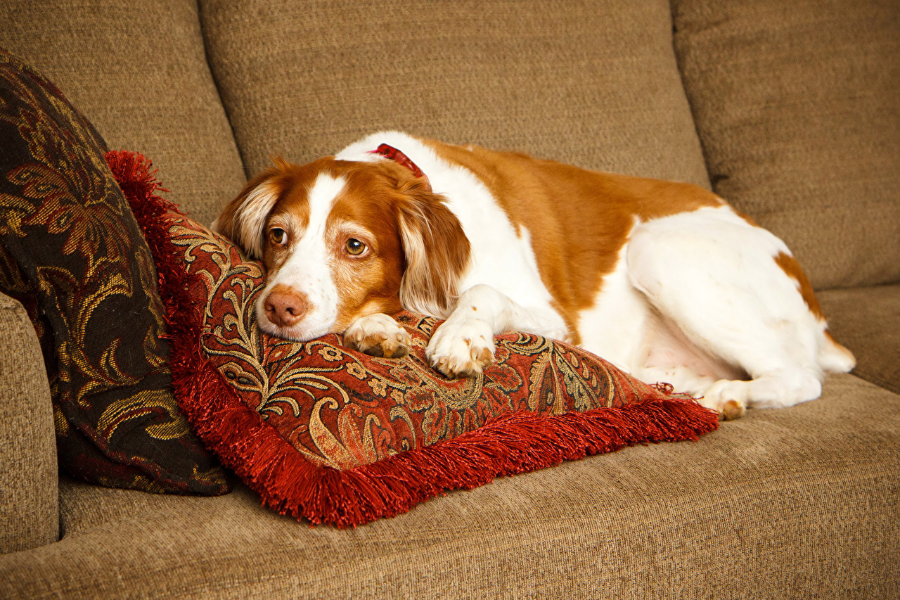 Image dog Brittany Spaniel Snout animal Pillows Dogs Animals