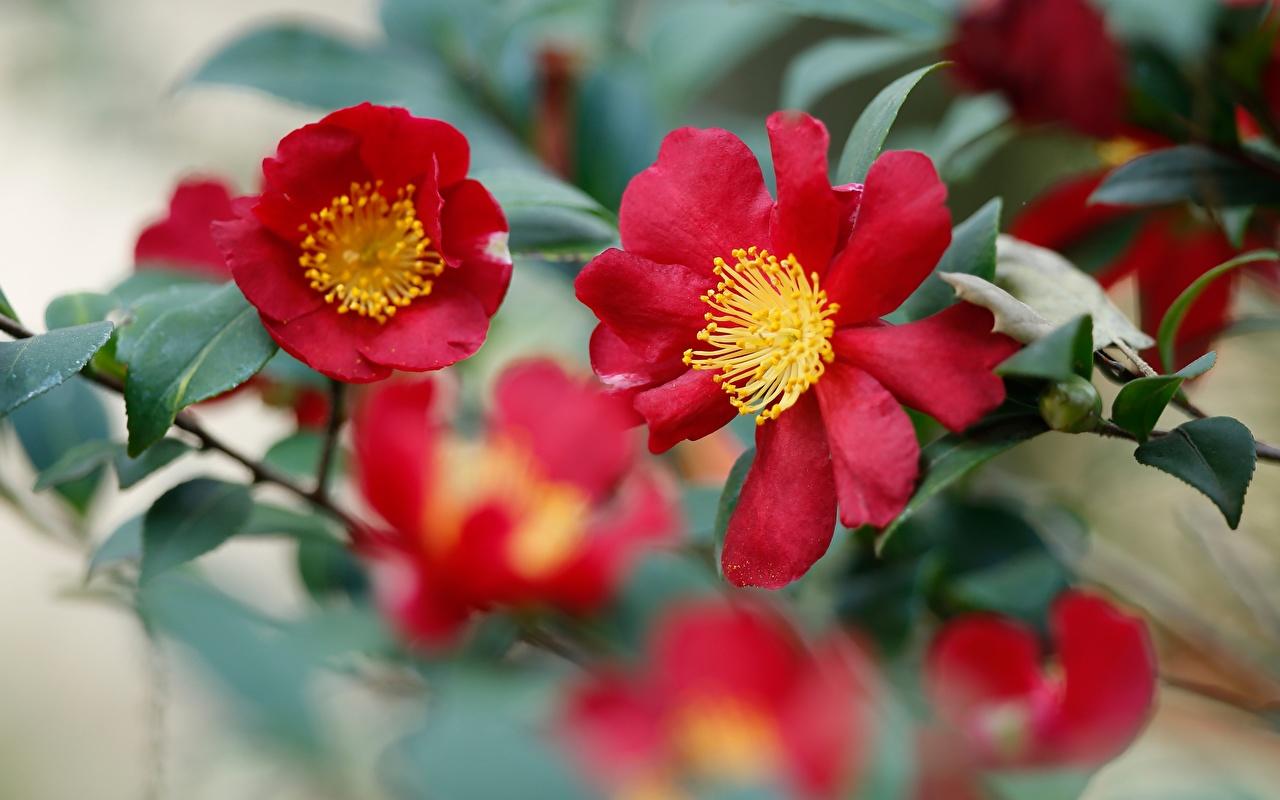 Bilder von Bokeh Rot Blüte Kamelien Nahaufnahme unscharfer Hintergrund Blumen hautnah Großansicht