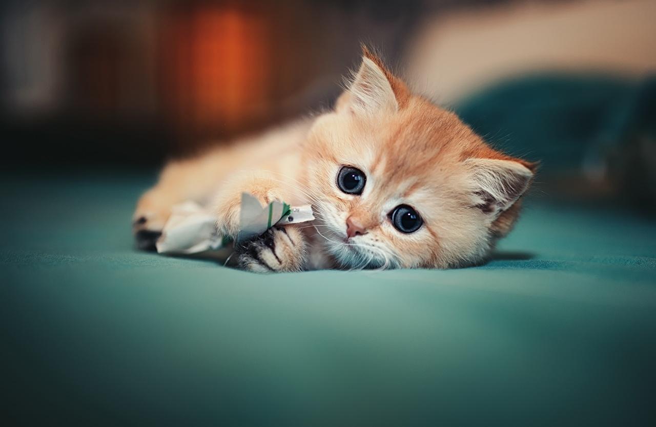 Desktop Hintergrundbilder Katzenjunges Katze hinlegen süße Tiere Blick Kätzchen Katzen Hauskatze Liegt ruhen Liegen nett Süß süßer süßes niedlich Starren ein Tier