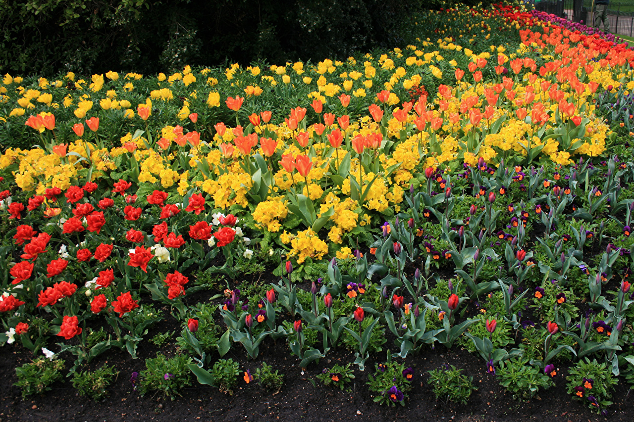Pictures St James Park tulip Spring Viola tricolor Parks flower Primula Tulips Pansies heartsease Johnny Jump up park Flowers