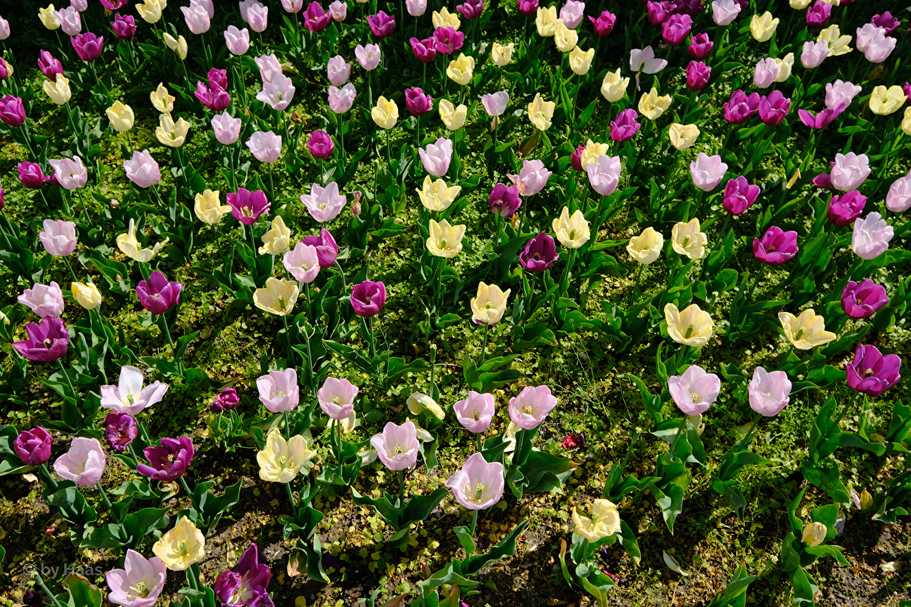 Pictures Multicolor tulip flower Many Tulips Flowers