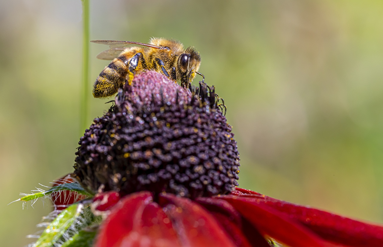 Pictures Bees Insects Bokeh animal Closeup blurred background Animals
