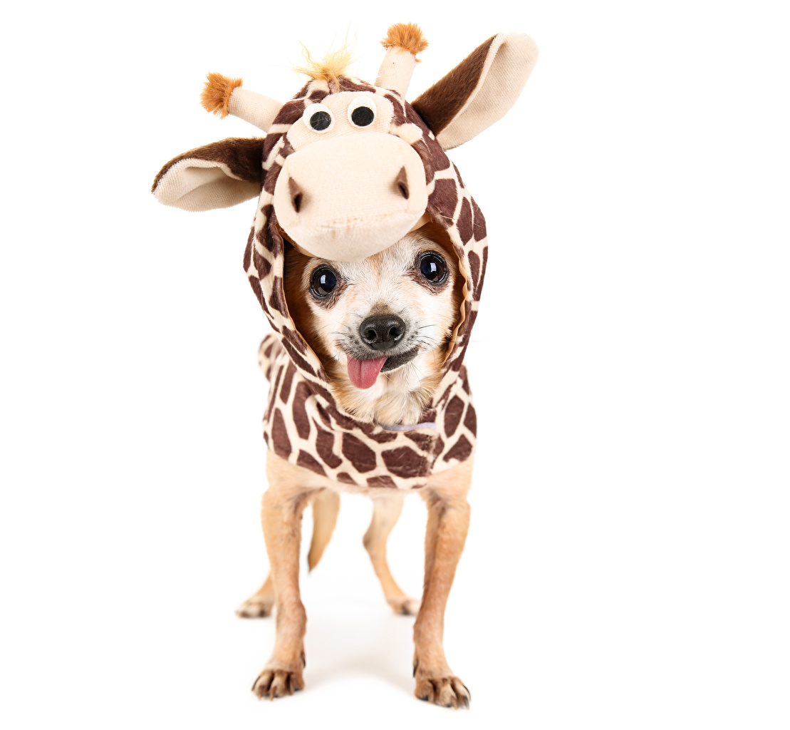 Photos Chihuahua dog Kangaroo Clothing Uniform animal White background Dogs Clothes Animals