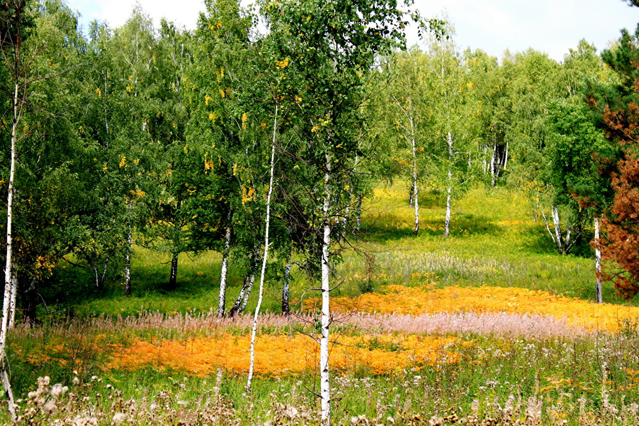 Wallpaper Birch Nature forest Grass Trees Forests
