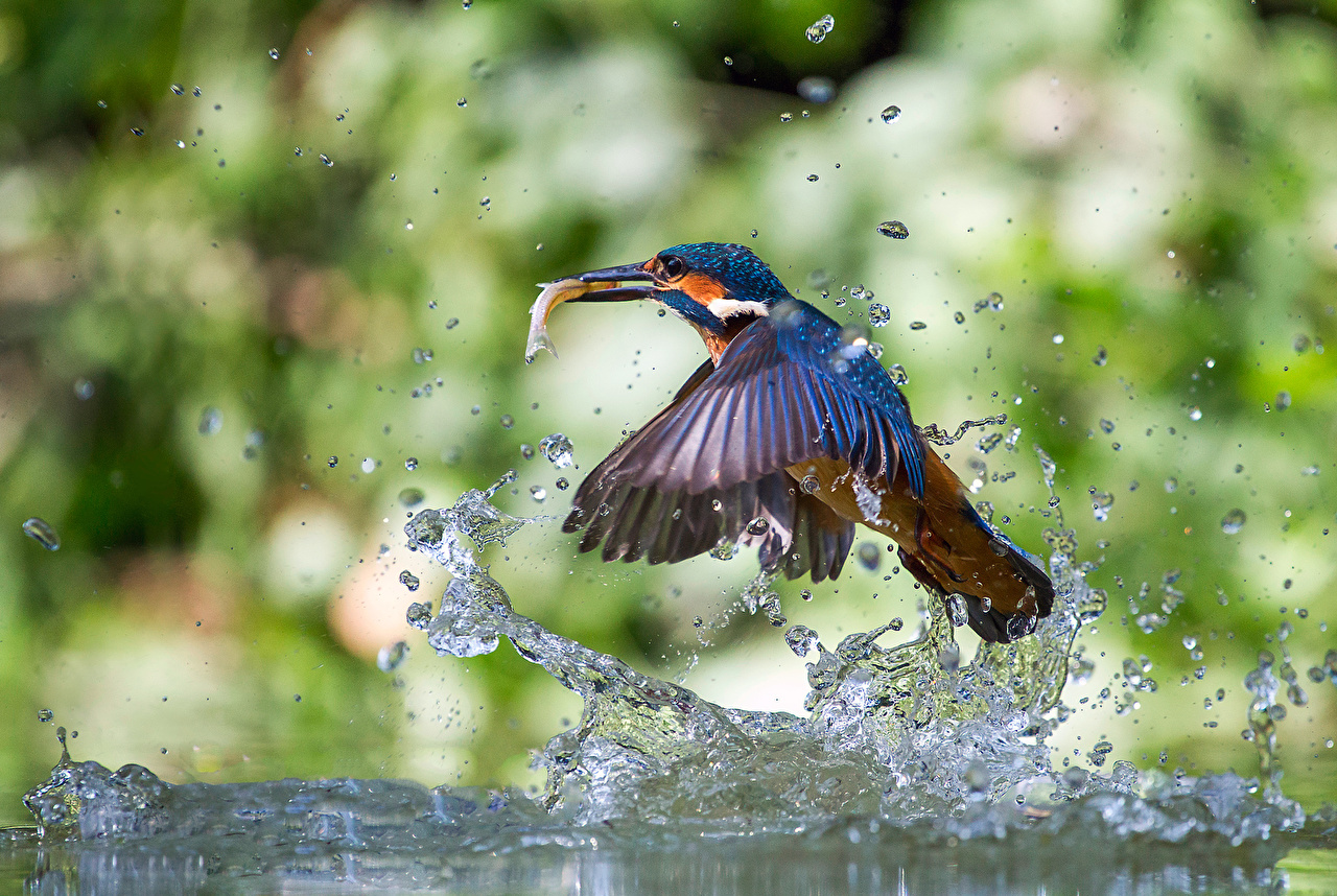 Picture Common Kingfisher bird Drops Water splash Animals Birds animal