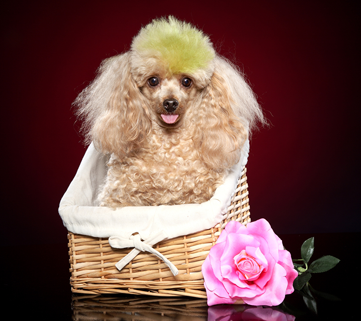 Photo Poodle Dogs Roses Wicker basket Animals dog rose animal