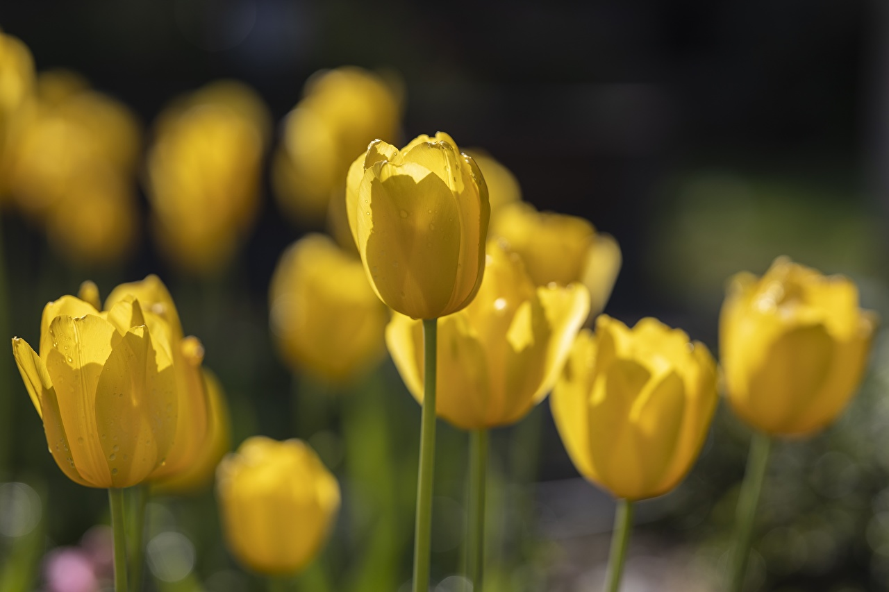 Foto Bokeh Gelb Tulpen Blüte Nahaufnahme unscharfer Hintergrund Blumen hautnah Großansicht