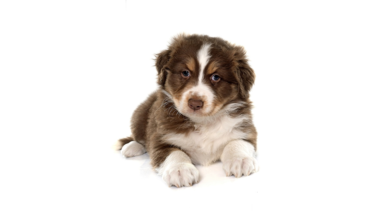 Picture Puppy aussie dog Dogs esting Glance animal White background puppies Australian Shepherd dog laying Lying down Animals Staring