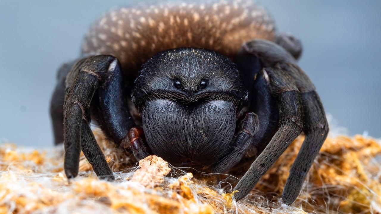 Desktop Hintergrundbilder Webspinnen lycosa tarantula ein Tier Nahaufnahme Tiere hautnah Großansicht