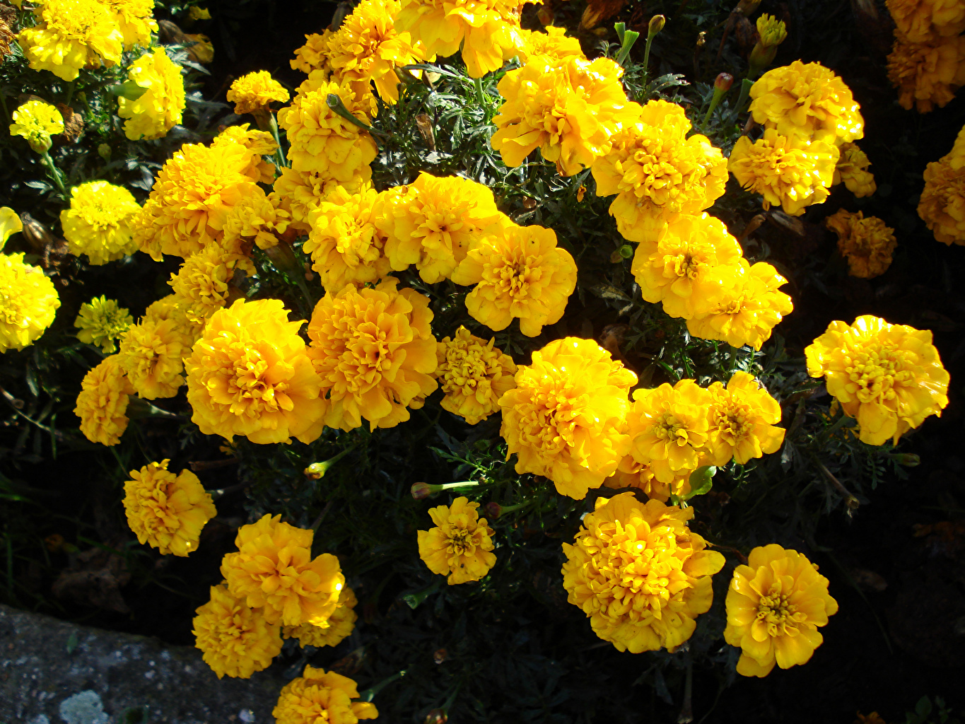 Photos Yellow Tagetes Flowers flower