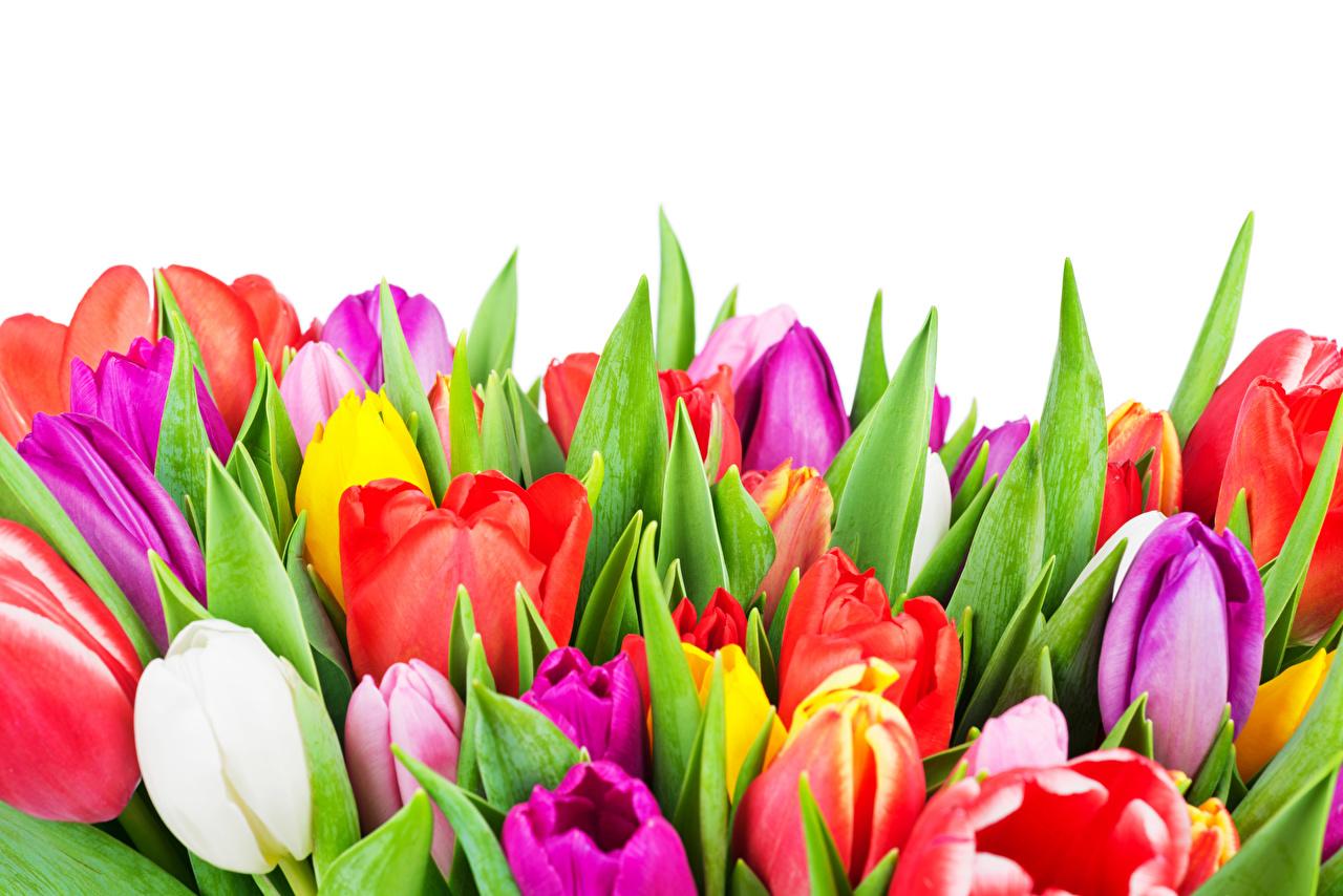 Photo Multicolor Tulips flower Closeup White background tulip Flowers