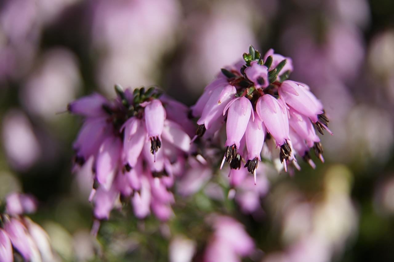 De perto Heather Calluna Bokeh Cor-de-rosa flor, Fundo desfocado Flores