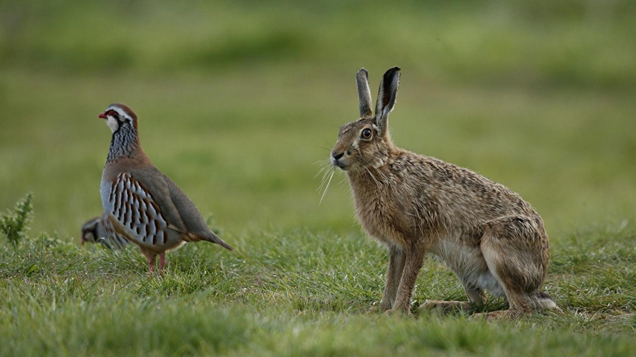 Photo bird Hares Partridge Grass Animals Birds animal